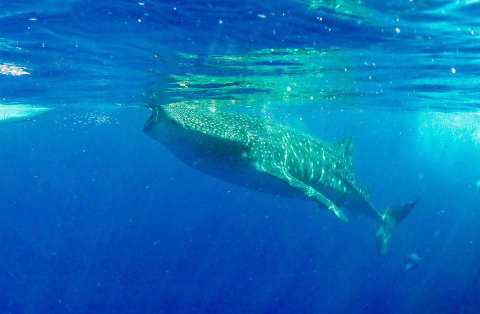 Photos of A Beautiful Whale Shark 1/1 by Kitty Iyer