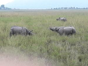 Watch wild Rhinoceros at Pobitora!