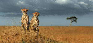 Wildlife Safari : Tanzania