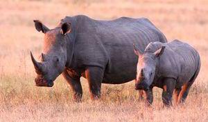 Will White Rhinos go extinct?