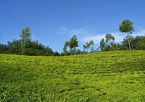 Escape to the panoramic Munnar for your honeymoon