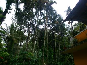 Coorg - Midst Coffee Plantation