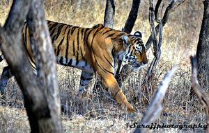 Jungle safari with Tigers, Ranthambore National Park. Wild and adventurous Long weekend trip :)